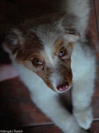 Фото Моргающая собака породы австралийская овчарка