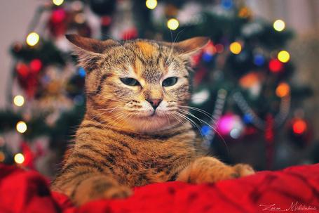 Фото Недовольный кот сидит на фоне новогодней елки, фотограф zoranphoto