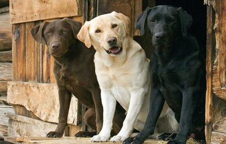 Фото Коричневый, белый, и черный собаки породы лабрадор смотрят прямо (© Strong), добавлено: 28.12.2013 22:21