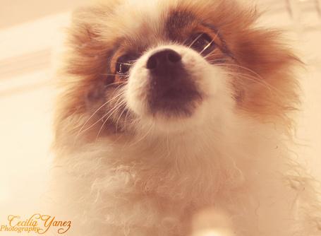 Фото Рыжая собака крупным планом, фотограф ceciliay