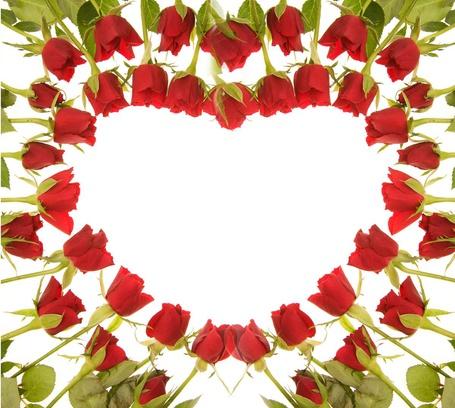 Фото Красные розы выложены в форме сердца на белом фоне