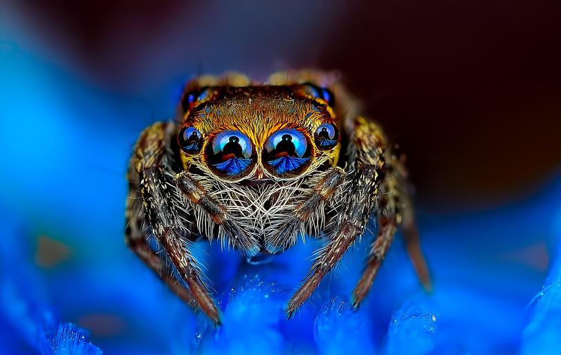Фото Эти глазастые существа – обычные маленькие паучки, которые были сфотографированы автором Jimmy Kong / Джимми Конгом в макрорежиме