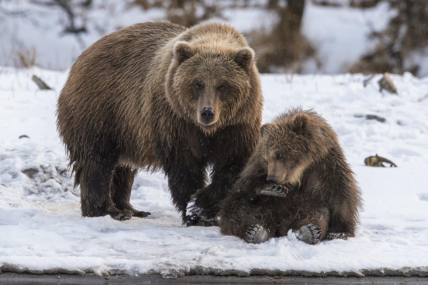 Фото Медведица и маленький медвежонок, сосущий лапу, сидящий на снегу
