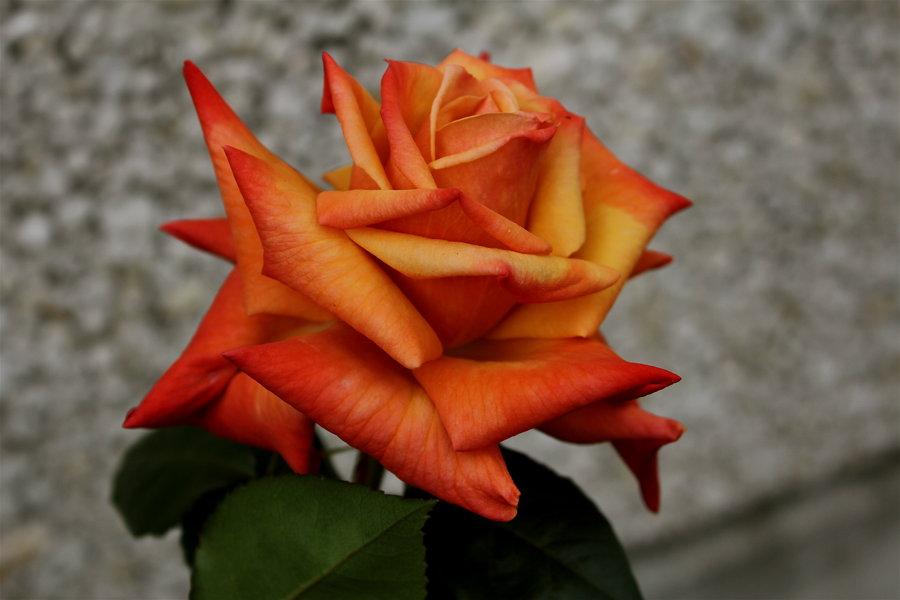 роза с палкой картинка оранжевая начале