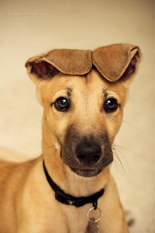 Фото Портрет рыжего щенка, сложившего ушки на голове
