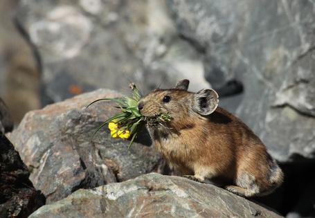 Фото Алтайская пищуха, держащая во рту желтые цветы с листьями, автор Darius