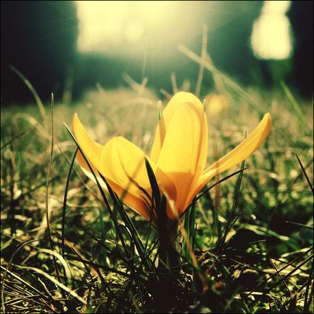 Фото Желтый крокус в солнечном свете, фотограф CasheeFoo