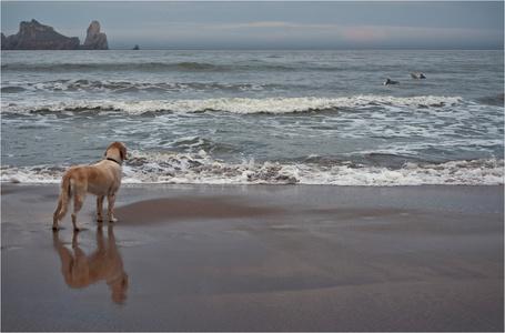 Фото Собака, стоящая на песчаном пляже морского берега, наблюдает за двумя серфингистами, находящимися в воде, автор Сергей Гаспарян