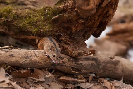 Фото Мышь палевка, вылезшая из норки под деревом, осматривает пожухлые сухие листья, лежащие перед ней, автор Динара