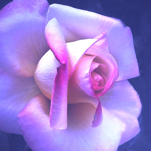 Фото Нежная роза на голубом фоне