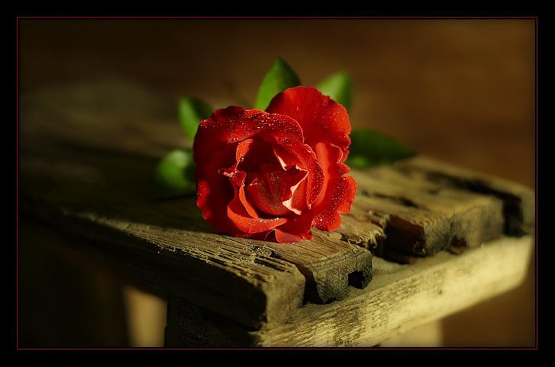 Одинокая роза картинки, хвоста