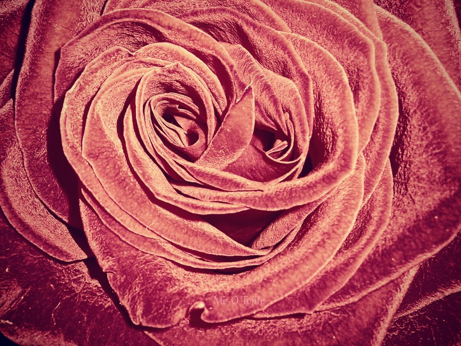 юристом, картинки бархатными розами десятилетие они оставались