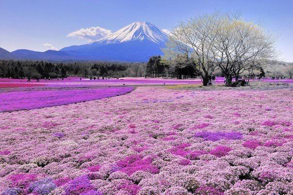 Florescendo, gramíneo, sakura, campo, ligado, a, fundo, de, monte fuji, Japan / Fuji, Japan