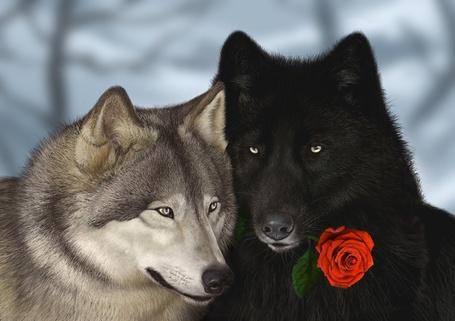Фото Влюбленные серая волчица и черный волк, держащий в зубах красную розу