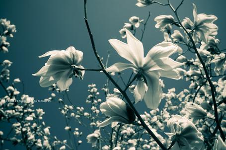 Фото Весеннее цветение деревьев, автор joannakossak