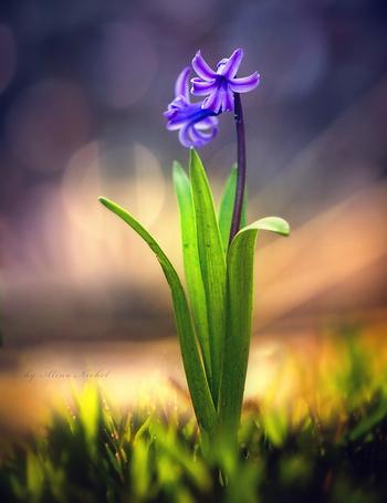 Фото Фиолетовый цветок среди ярко-зеленых листьев на размытом фоне, автор Alina Neckel