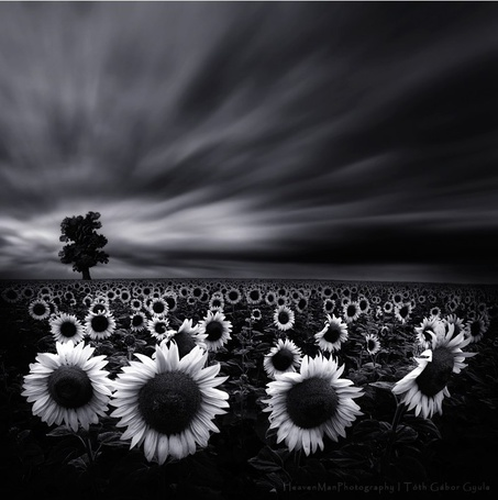 Фото Поле подсолнухов на фоне дерева и неба, фотограф Heaven Man