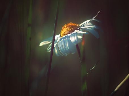 Фото Ромашка в солнечном свете, фотограф Svetlana Peric