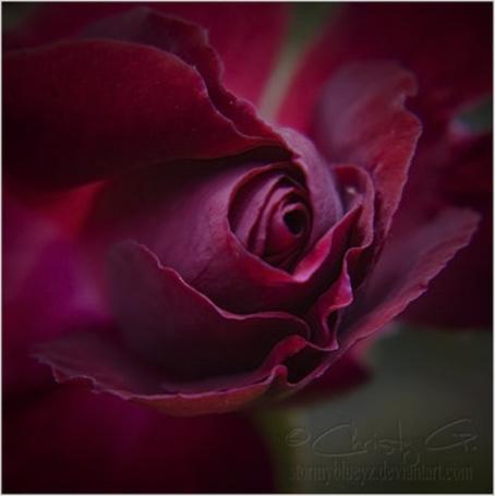 Бордовая роза фото