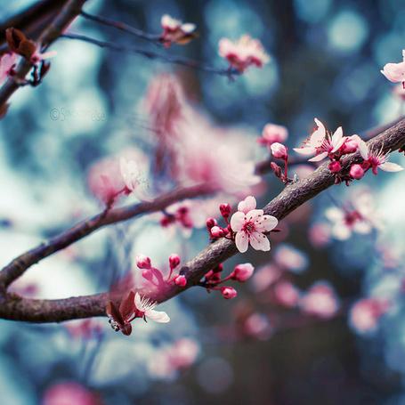 Фото Веточки цветущего дерева, фотограф Somebody-else