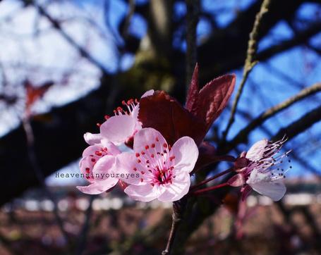 Фото Ветка цветущего дерева, Фотограф Heavensinyoureyes (© chucha), добавлено: 13.03.2014 12:03