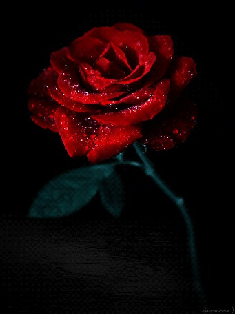 Фото Алая роза в каплях воды (С любовью для тебя)