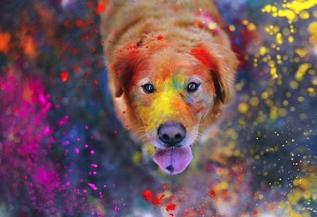 Фото Собака породы Лабрадор Ретривер высунула язык к падающим на нее цветному порошку