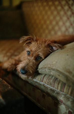 Фото Грустный рыжий пес лежит на кушетке