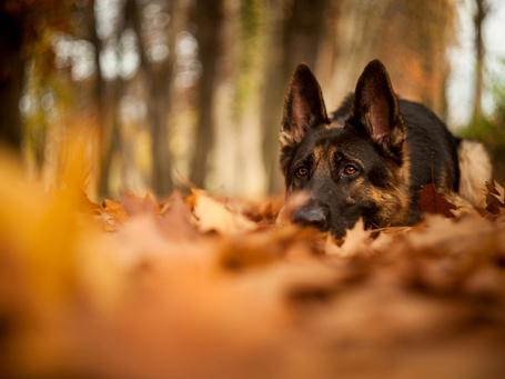 Фото Немецкая овчарка сидит на земле среди опавших осенних листьев
