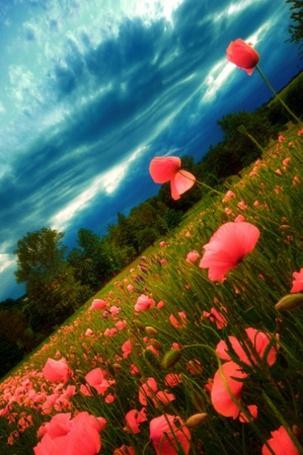 Фото Поле маков под облачным небом