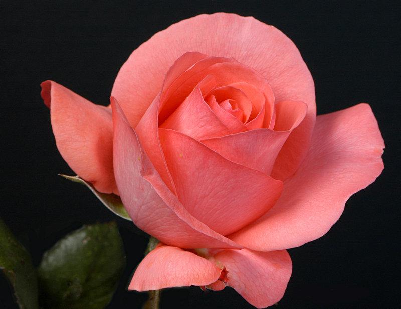 если больше розы цвета лосося фото доступный способ