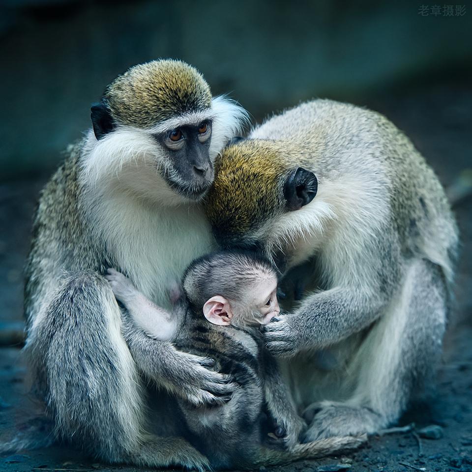 картинки обезьяны и детеныша чёрное