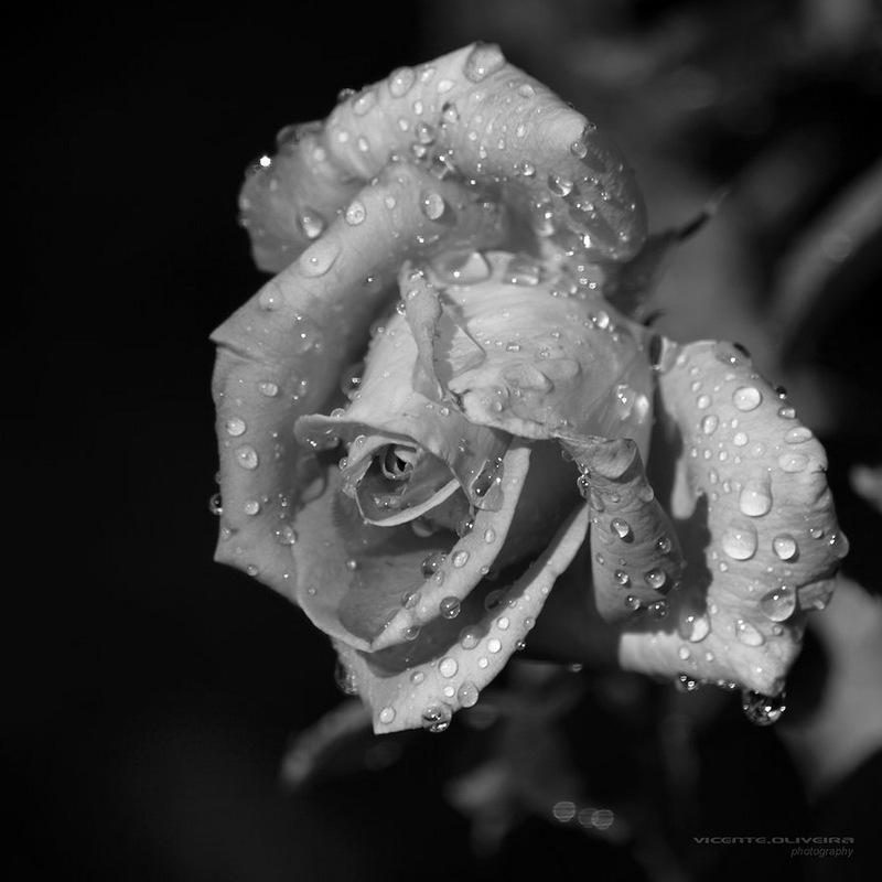 черно белое фото цветов в росе кирпичного забора множество