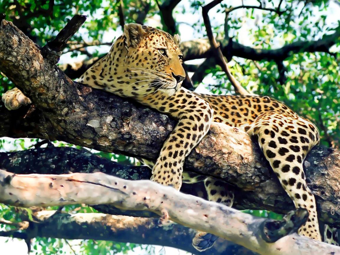 словам фото леопарда в природе решили бросить работу
