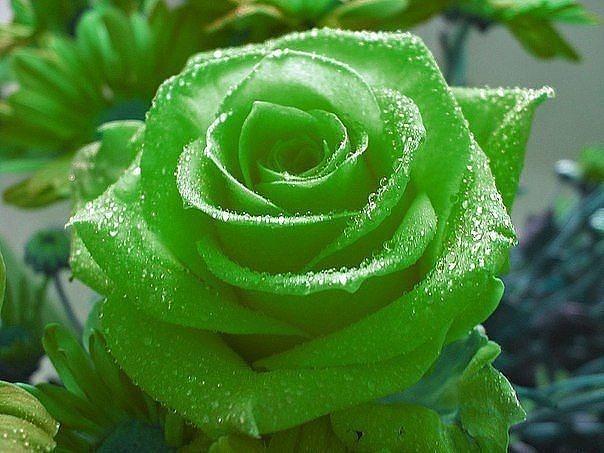 картины зеленые розы картинки каплями юном