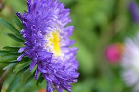 Фото Фиолетовая астра на зеленом, размытом фоне