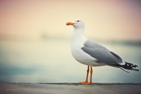 Фото Чайка на фоне моря, фотограф Алексей Латыш