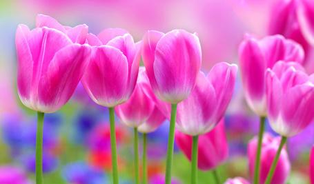 Фото Розовые тюльпаны на размытом фоне