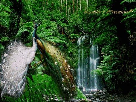 Фото Два красивых павлина возле деревьев, вдалеке небольшой водопад