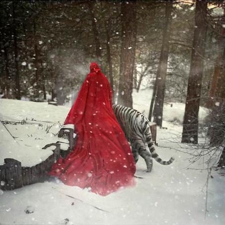 Фото Девушка в красном плаще идет рядом с белым тигром в окружении снега и деревьев, фотограф Тина Шульц