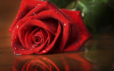 Фото Красная роза в каплях росы
