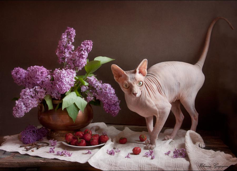Открытки с днем рождения с кошками сфинксами, года совместной