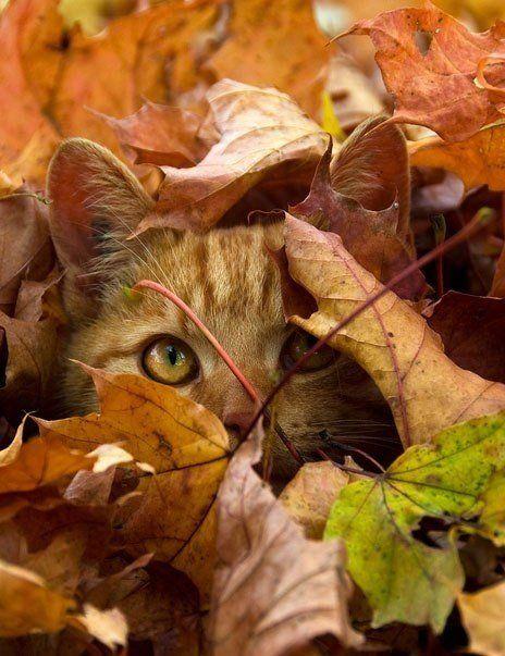 Картинки кот в осенних листьях