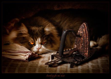 Фото Пушистый коричневый с белым кот лежит возле поглаженных носовых платков, а перед ним на металлической подставке стоит старинный чугунный поржавевший утюг / Looking for the heat (В поисках тепла), автор Antonio Diaz
