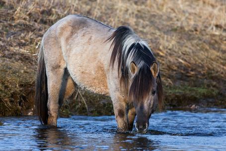 Фото Лошадь, пьющая воду у берега реки