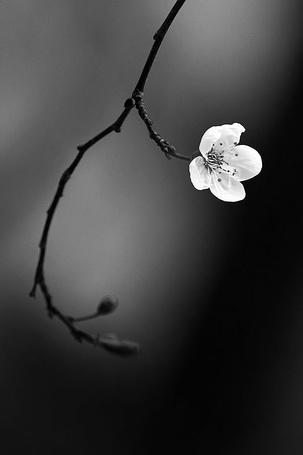 Фото Цветок вишни на ветке