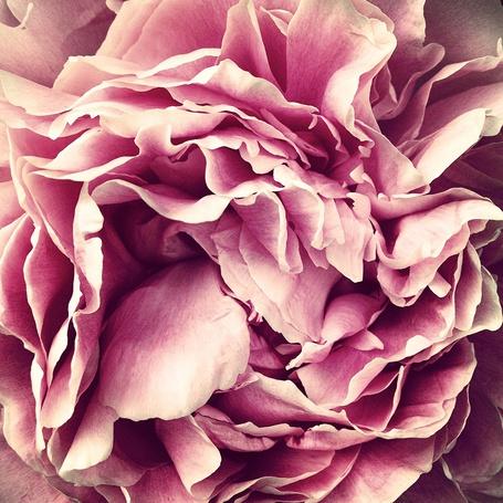 Фото Розовый пион крупным планом