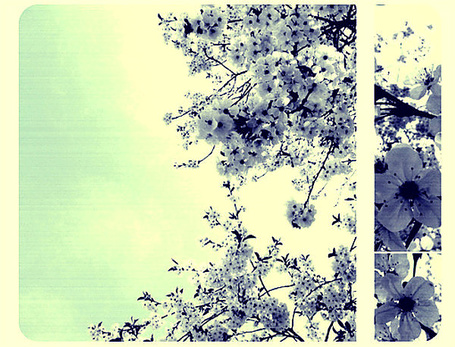 Фото Ветки цветущей вишни