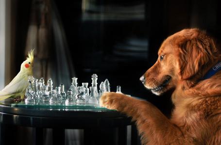 Фото Пес и попугай играют в шахматы, фотограф Джессика Трин