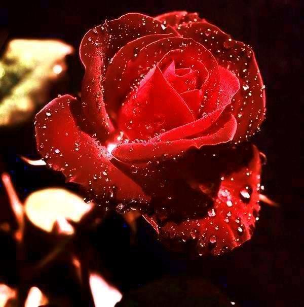 Фото Красная роза в капельках росы, на черном фоне